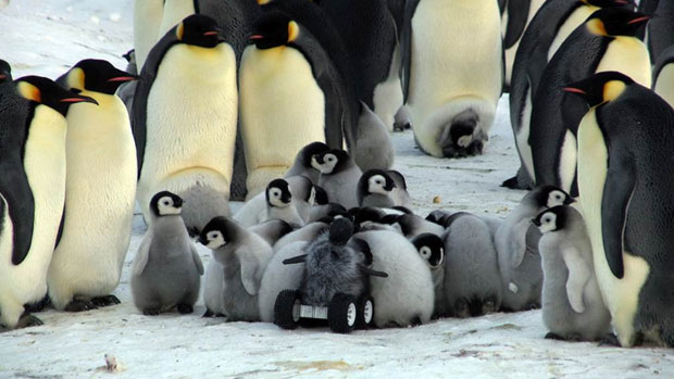 Researchers Send Robotic Penguin Babies In To Monitor RealPenguins