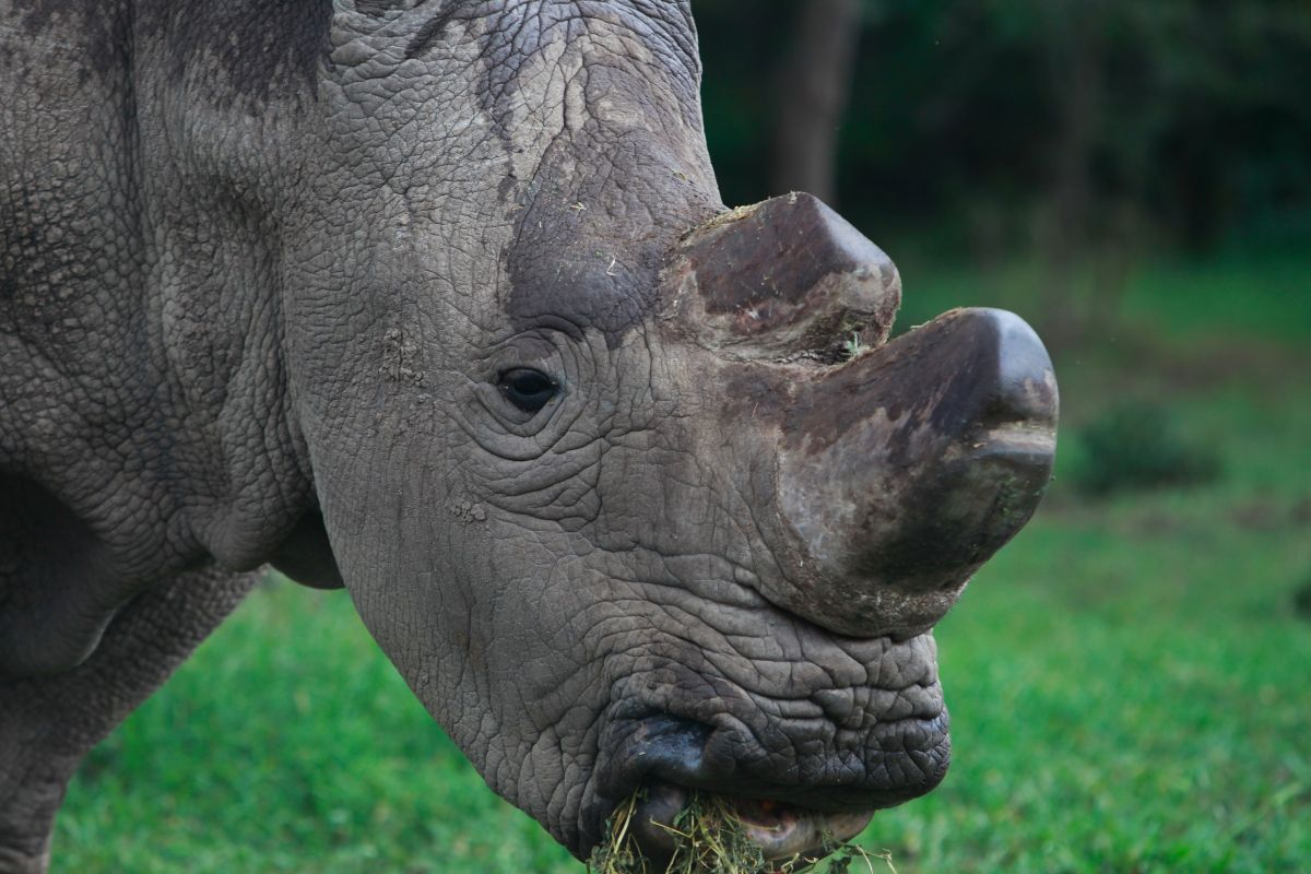 Fitting rhinos with high-tech body cams could save them from poachers